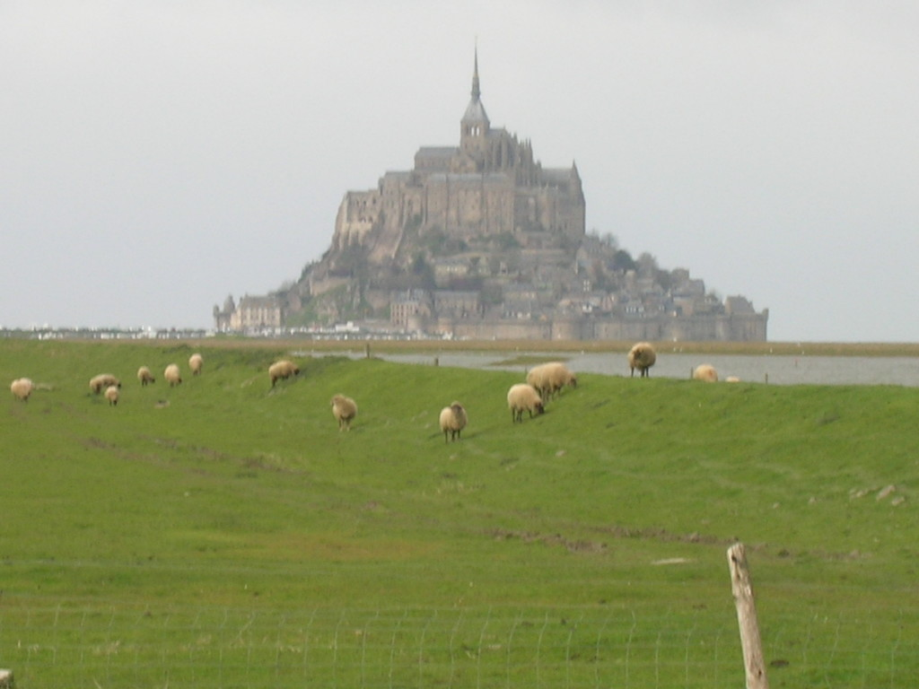 Sheep grazing on the salty marsh at Mont St. Michel in northwestern France.